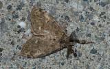 Yellow-based tussock moth (Dasychira basiflava), #8296