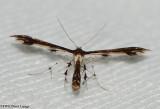 Himmelmans plume moth (Geina tenuidactyla), #6092
