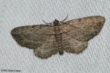 Brown bark carpet (Horisme intestinata), #7445