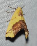 Sharp-lined yellow (Sicya macularia), #6912