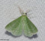 Wavy-lined emerald (Synchlora aerata ), #7058