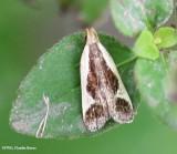 Cream-bordered dichomeris (Dichomeris flavocostella), #2295