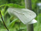 Virginian tiger moth (Spilosoma virginica), #8137