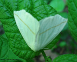 White slant-line moth (Tetracis cachexiata), #6964