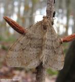 Bruce spanworm (Operophtera bruceata), #7437