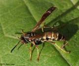 Paper wasp (Polistes fuscatus), female
