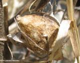 Egg sac of Argiope aurantia