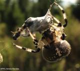 Shamrock orb weaver (Araneus trifolium)
