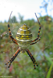 Banded argiope (Argiope trifasciata)