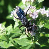 Great black wasp (Sphex pensylvanicus)