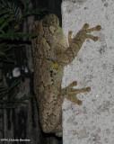 Gray treefrog (Hyla versicolor)  adult