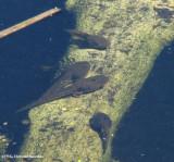 Green frog (Rana clamitans) tadpoles