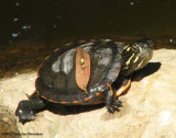 Young painted turtle (Chrysemys picta)