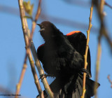 Blackbirds of the FWG