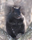 Grey squirrel (black phase) in sumac