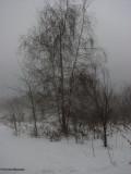 Birch tree in the mist