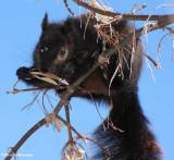 Grey squirrel (black phase) eating Manitoba maple seed