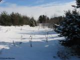 New woods under fresh snow