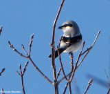 Shrikes of the FWG
