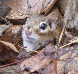 Chipmunk emerging from burrow