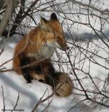 Red fox (Vulpes vulpes) at the FWG