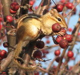 Stocking up for winter on the crabapples