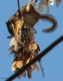 Chipmunk eating Manitoba maple seeds