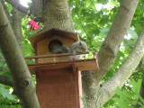 Grey squirrel youngster