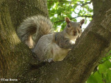 Grey squirrel, very pregnant