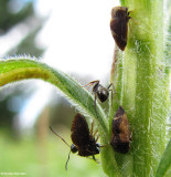 Publilia concava treehoppers with ants