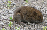 Meadow Voles (Microtus pennsylvanicus) and Mice (Peromyscus sp.) of the FWG