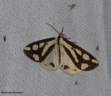 Reversed haploa moth (Haploa reversa), #8109