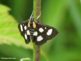 White-spotted sable (Anania funebris), #4958a