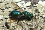 Cuckoo Wasps (Family: Chrysididae)