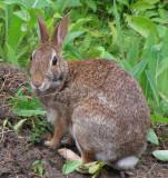 Eastern Cottontail Rabbits (Sylvilagus floridanus) at the FWG