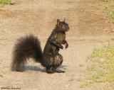 Grey Squirrel (black phase)