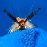 White marked tussock moth caterpillar (Orygia  leucostigma)