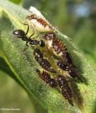 Treehopper nymphs (Publilia concava)