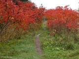 Trail through sumacs