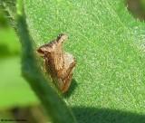 Keeled treehopper (Entylia carinata)