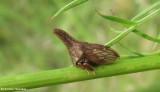 Treehopper  (Enchenopa latipes)