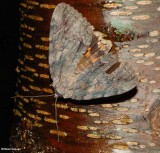 The Penitent  underwing moth (Catocala neogama), #8798