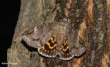 Locust underwing (Euparthenos nubilis), #8719