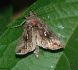Common Looper (Autographa precationis), #8908