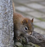 Red squirrel peering around the corner of the centre