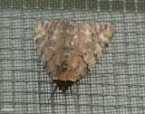 Darling underwing moth (Catocala cara), #8832.1