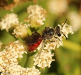 Sweat bee (Sphecodes)