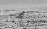 White-winged Black-bellied Plover