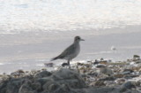 Golden Plover on Duxbury Beach (MA) by 2nd Crossover  09-16-2009