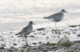 Golden Plover with B-bellied- DBCH - opp 2nd xover.jpg